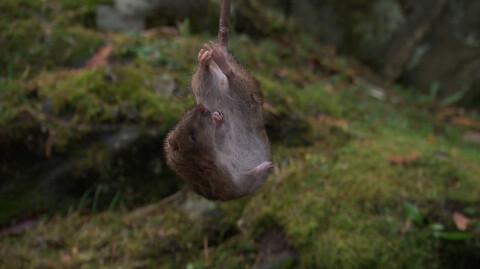 G� en runde rundt huset i dag: Rotteinvasjon i S�r?Norge