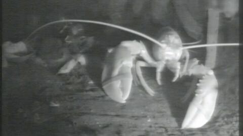 R�mte fra middagsbordet ? n� reddes hummeren av dykkere