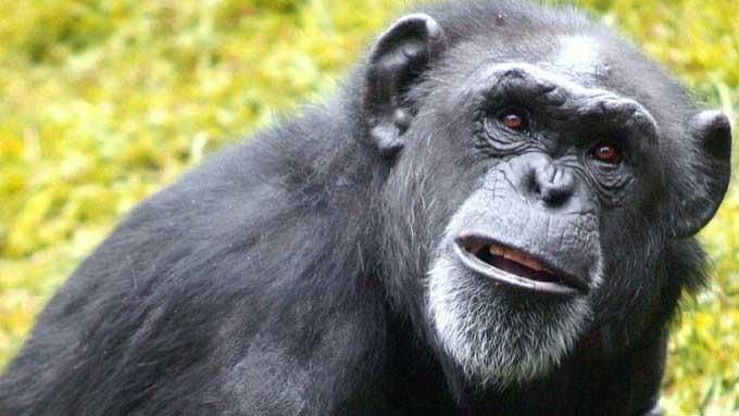 Tragisk at apa Zhora er gjort avhengig av røyk og alkohol, dyremishandling! thumbnail