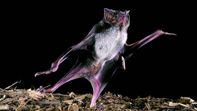 Blodtørste vampyrflaggermus drepte 4 barn i Peru, tragisk! thumbnail