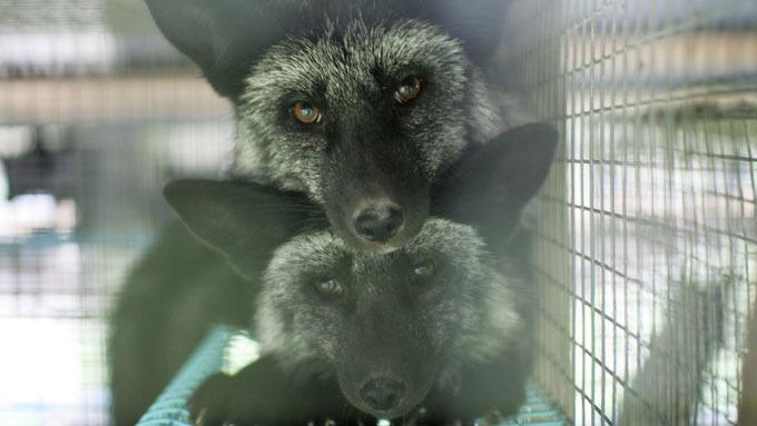 Dyr skal da ikke lide på grunn av menneskers forfengelighet? thumbnail