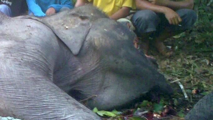 Flere elefanter drept av cyanid-ananas. thumbnail