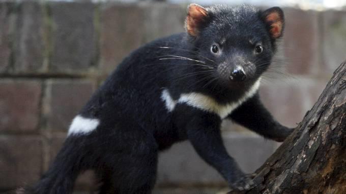 Tasmanske djevler fredes på grunn av svulst. thumbnail