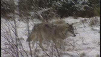 Dersom Senterparti-leder Liv Signe Navarsete får det som hun vil kan ulven bli utryddet i Norge.
