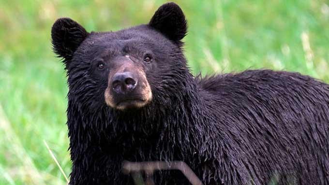 Kelly Ann Walz brutalt drept av stor bjørn! thumbnail