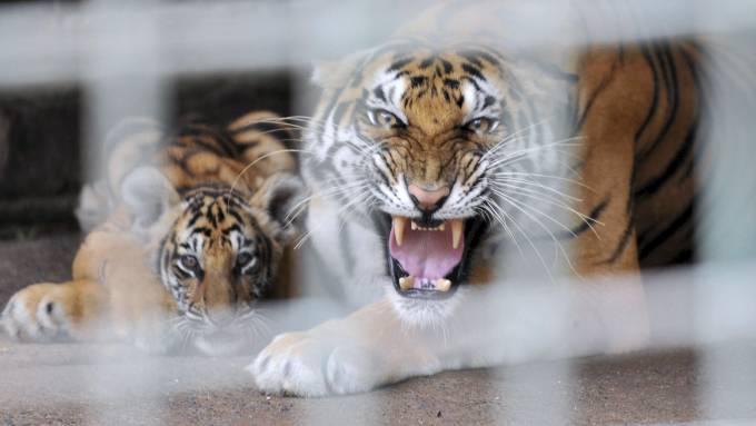 Den bengalske tigeren «Kanna» drepte sin dyrepasser! thumbnail