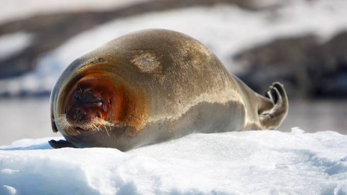 Ta ikke livet av små pelsdotter med store og bedårende øyne, kalt sel! thumbnail