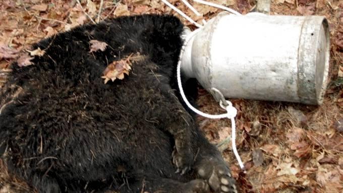 Når bjørn får et melkespann over hodet, da blir det natta! thumbnail