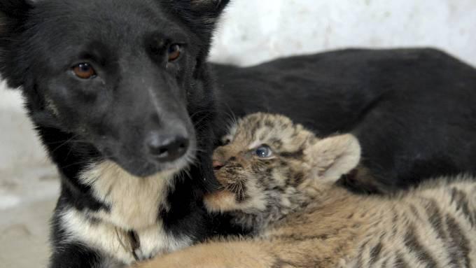 Naturen er vakker når en tigerunge adopteres av en snill hunde tispe! thumbnail