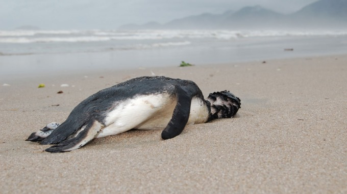 Tragisk når 500 døde pingviner skyller i land! thumbnail