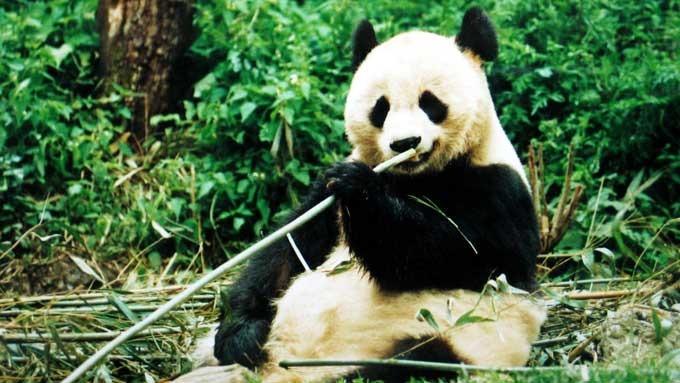 Mann arrestert etter pandadødsfall, pandaen Quan Quan er død! thumbnail