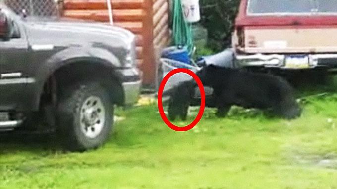 Bjørnemamma og mennesker reddet søt liten bjørnunge ut nett! thumbnail