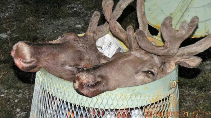 Fant avkappede reinsdyrshoder ei et søppeldunk, skrekk og gru! thumbnail
