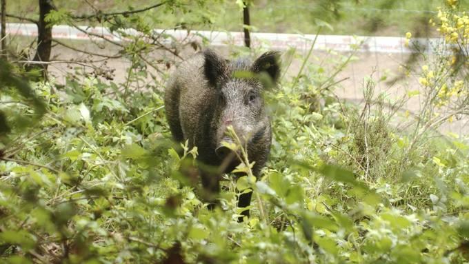 Mindre villsvin her i landet, fri jakt og kald vinter er grunnen! thumbnail