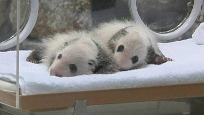 Pandaer er vel det fleste av oss svake for, søte og vakre dyr! thumbnail