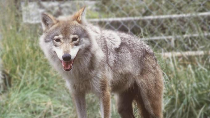 Ulv drepte og spiste en hund, en blanding av papillon og chihuahua! thumbnail