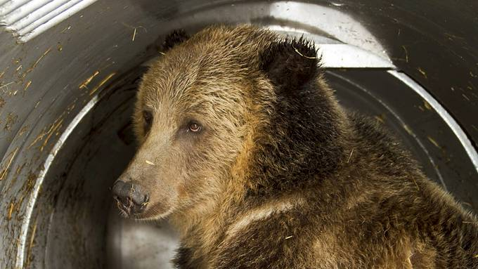 Be meg gjerne på middag, men byr du meg på bjørnekjøtt så kommer jeg ikke! thumbnail