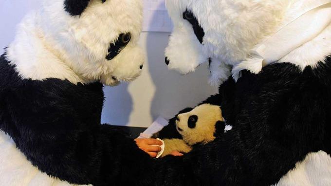 Forskere har ansvaret for en liten søting som et pandabarn kan sies å være! thumbnail