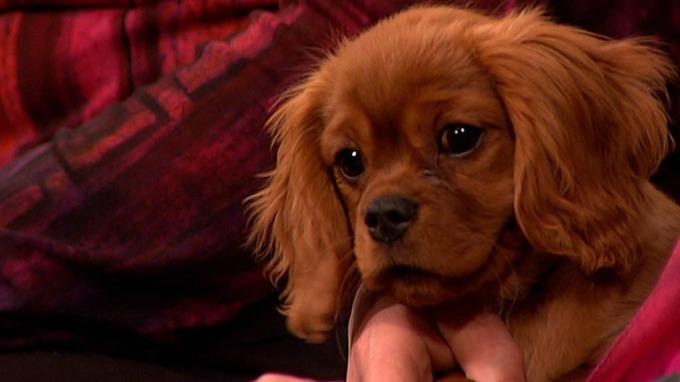 Norges mest populære hund er Cavalier king charles spaniel! thumbnail