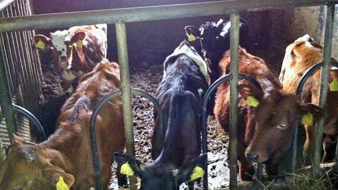 Fant utmagrede dyr på gården til ordfører