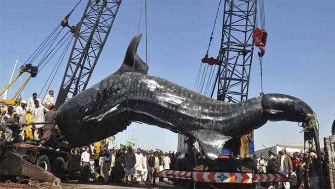 verden største fisk